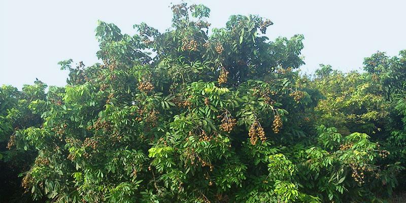 Longan tree