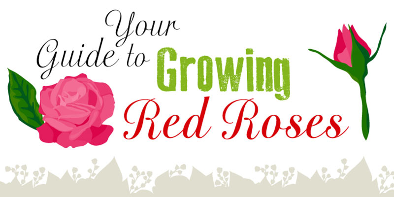 Your guide to growing red roses
